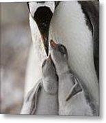 Gentoo Penguin Feeding Its Two Chicks Metal Print by Tom Murphy
