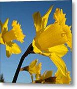 Glowing Yellow Daffodil Flowers Art Prints Spring Metal Print