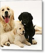 Golden Retriever And Puppies Metal Print by Jane Burton