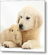 Golden Retriever Pup And Yellow Guinea Metal Print