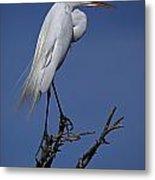 Great Egret, Casmerodius Albus, Perched Metal Print