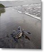 Instinct Sends A Young Leatherback Metal Print by Joel Sartore