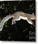 Jumping Gray Squirrel Metal Print by Ted Kinsman
