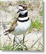 Klassic Killdeer Metal Print by Lynda Dawson-Youngclaus