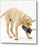 Labrador X Golden Retriever Puppy Metal Print by Jane Burton