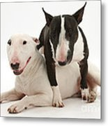 Miniature Bull Terrier Bitch, Lily Metal Print by Mark Taylor