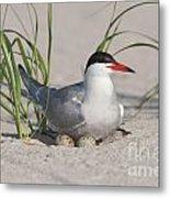 Nesting Common Tern Metal Print