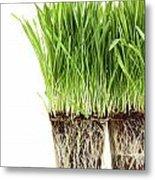 Organic Wheat Grass On White Metal Print