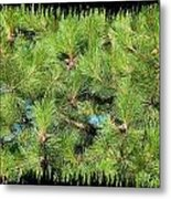 Pine Cones And Needles Metal Print