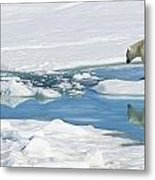 Polar Bear, Ursus Maritimus Metal Print by Ralph Lee Hopkins
