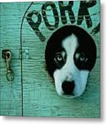 Porky Is One Of Jan Masseks Race Dogs Metal Print