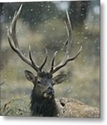 Portrait Of An Elk Or Wapiti Metal Print by Norbert Rosing