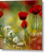 Red Poppies And Small Daisies Bloom Metal Print
