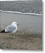 Ring-billed Gull Metal Print