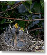 Robin Nestlings Metal Print by Ted Kinsman