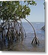 Root Legs Of Red Mangroves Extend Metal Print