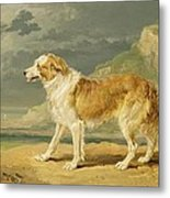 Rough-coated Collie Metal Print