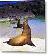 Sea Lions On Genovesa Island Metal Print