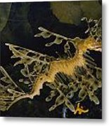 Several Views Of The Leafy Sea Dragon Metal Print by Paul Zahl