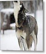 Sled Dog Howling Metal Print