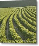 Soybean Crop Ready To Harvest Metal Print