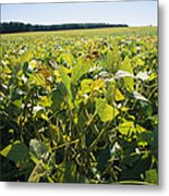 Soybeans Sprout In A Large Eastern Metal Print by Stephen St. John