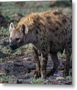 Spotted Hyena Metal Print