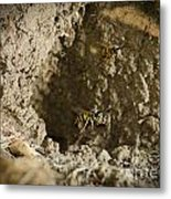 Spring Cleaning Pair Of Wasps Carrying Mud From A Yellow-jacket Wasps Nest Metal Print by Andy Smy