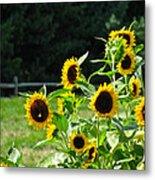 Sunflower Patch Metal Print