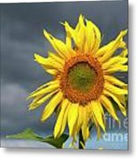 Sunflowers Helianthus Annuus Metal Print