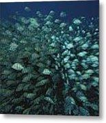Surgeonfish  Slice Through The Coral Metal Print by Randy Olson
