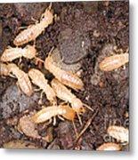 Termite Nest Reticulitermes Flavipes Metal Print by Ted Kinsman