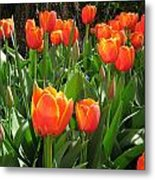 Tulip Time Metal Print by Margaret Hodgson