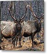 Two Bulls Metal Print by Wade Aiken