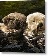 Two Captive Sea Otters Floating Back Metal Print
