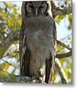 Verreauxs Eagle Owl, Bubo Lacteus, Or Metal Print by Paul Sutherland