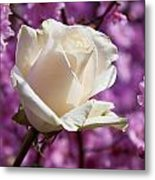White Rose And Plum Blossoms Metal Print by Garry Gay