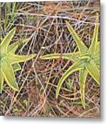 Yellow Butterwort In Habitat Metal Print by Scott Bennett