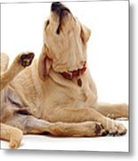 Yellow Labrador Scratching Metal Print