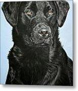 Young Black Labrador Metal Print