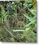 Young Bobcats Metal Print by Michael S. Quinton