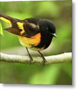 American Redstart Warbler Metal Print