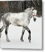 Light  Grey Horse Goes On A Winter Glade  Metal Print