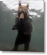 A Brown Bear Fishing For Salmon Metal Print by Randy Olson