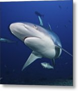 A Large Silvertip Shark, Fiji Metal Print by Terry Moore