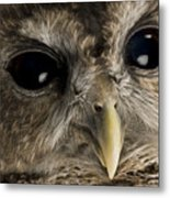 A Threatened Northern Spotted Owl Metal Print by Joel Sartore