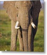 African Elephant Loxodonta Africana Metal Print by Gerry Ellis