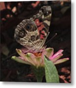 American Painted Lady Metal Print