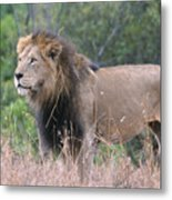 Black Maned Lion Metal Print