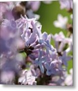 Common Purple Lilac Metal Print